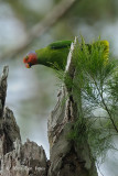 Parrot, Red-cheeked (male) @ Virirata National Park
