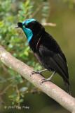 Astrapia, Ribbon-tailed (imm male) @ Kumul Lodge