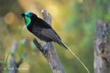 Astrapia, Ribbon-tailed (male) @ Kumul Lodge