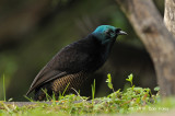 Astrapia, Ribbon-tailed (female) @ Kumul Lodge