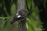 Robin, White-winged (imm) @ Kumul Lodge