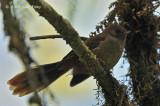 Fantail, Dimorphic @ Kumul Lodge