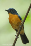 Flycatcher, Mangrove Blue (male) @ Pulau Ubin