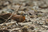 Babbler, Black-capped @ Hulu Langat