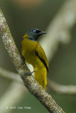 Bulbul, Black-headed