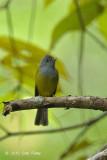 Flycatcher, Grey-headed Canary @ Hulu Langat