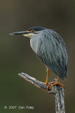 Heron, Green-backed