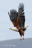 Eagle, African Fish-