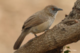 Babbler, Arrow-marked