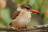 Kingfisher, Brown-hooded (female)