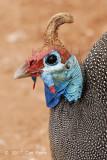 Guineafowl, Helmeted