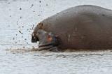 Hippopotamus (marking territory)