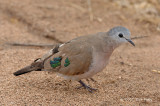 Dove, Emerald-spotted Wood-