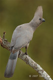 Go-away-bird, Grey
