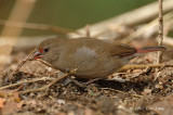 Firefinch, Red-billed