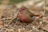 Firefinch, Red-billed (male)