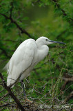 Egret, Great (breeding)
