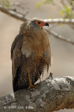 Hawk, African Harrier-