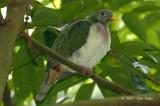 Dove, Jambu Fruit (juvenile, male) @ Bukit Timah