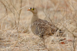 Sandgrouse, Double-banded (male)