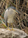 Heron, Black-crowned Night-