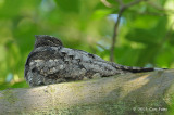Nightjar, Grey @ Chinese Gardens