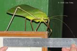 Leafhopper, Giant @ Tabin