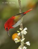 Sunbird, Temminck's (male) @ Mt. Kinabalu