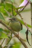 Sunbird, Temminck's (juv female) @ Mt. Kinabalu