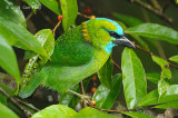 Barbet, Golden-naped