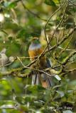 Trogon, Whitehead's (female) @ Mt. Kinabalu
