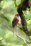 Trogon, Whitehead's (male) @ Mt. Kinabalu