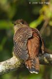 Cuckoo, Sunda (female hepatic morph) @ Kinabalu