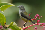 Flowerpecker, Black-sided (female) @ Mt. Kinabalue