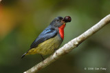 Flowerpecker, Black-sided