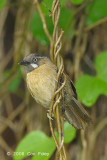 Babbler, Grey-throated