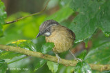 Babbler, Grey-throated @ Mt. Kinabalu