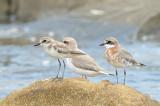 Plover, Lesser Sand @ Likas Bay