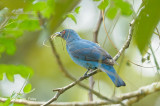 Bluebird, Asian Fairy (female) @ Tabin