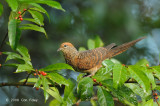 Dove, Little Cuckoo @ Mt. Kinabalu