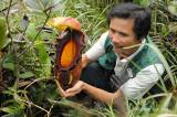 Nepenthes rajah @ Mesilau