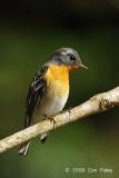 Flycatcher, Mugimaki (male) @ Mesilau