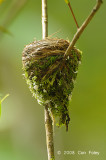Monarch, Black-naped (nest)