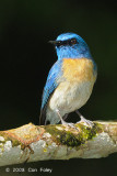 Flycatcher, Malaysian Blue (male) @ Tabin
