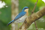 Flycatcher, Malaysian Blue (female)  @ Menanggol River