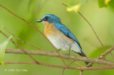 Flycatcher, Malaysian Blue (female) @ Tabin