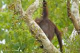 Bornean Orangutan (female with twins) @ Kinabatangan River