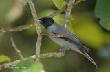 Cuckooshrike, Sunda @ Mt. Kinabalu