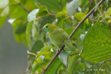 Leafbird, Blue-winged (female) @ Jeriau
