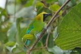 Leafbird, Blue-winged (male) @ Jeriau